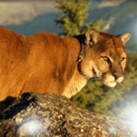 Недельная охота на горного льва в Нью-Мексико