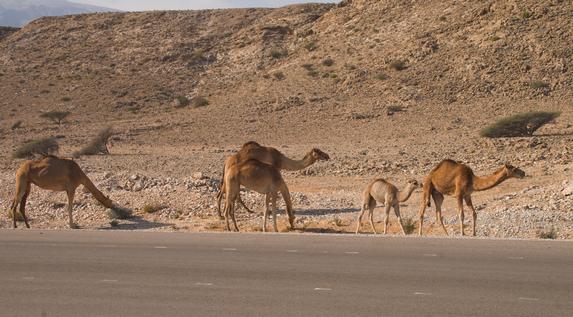 Оман, семейство верблюдов у шоссе
